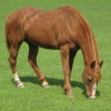 A chestnut horse.