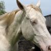 A perlino-colored horse.