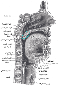 A sagittal section highlighting the uvula in teal.