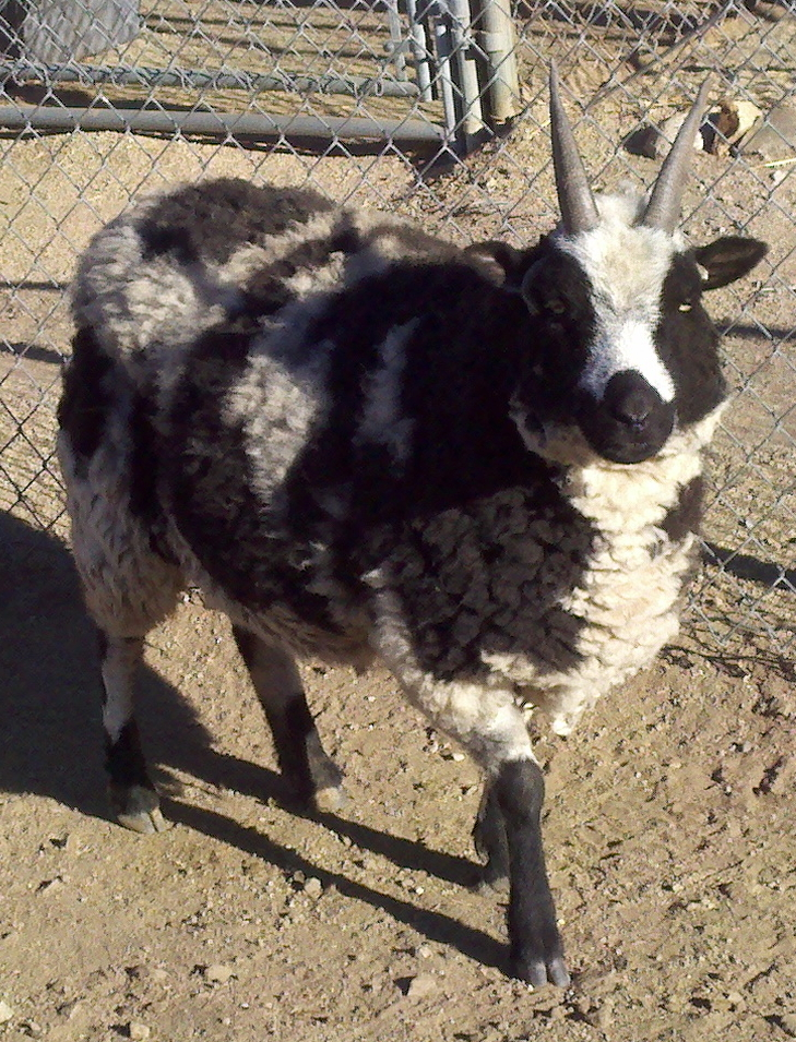 Yet another picture of a goat.